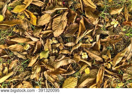 Beautiful Autumnal Background Of Fallen Leaves And Beech Nuts On Ground. Deciduous Forest. European