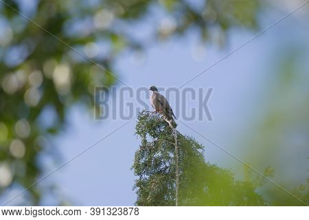 Framed By Blurred Luscious Green Leaves In The Foreground, A Wood Pigeon Perches On The Tip Of An Ev
