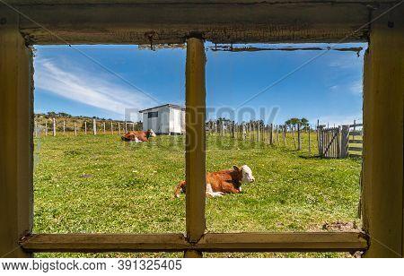 Riesco Island, Chile - December 12, 2008: Posada Estancia Rio Verde Working Farm. Brown-white Cows L