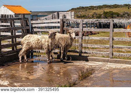Riesco Island, Chile - December 12, 2008: Posada Estancia Rio Verde Working Farm. 2 Washed And Disin
