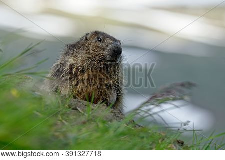 The Alpine Marmot (marmota Marmota) On The Alpine Meadow,  Large Ground-dwelling Squirrel, From The