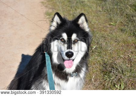Sweet Look Directly Into The Face Of A Black And White Malamute Dog.