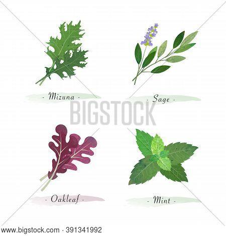 Watercolor Healthy Nature Organic Plant Vegetable Food Ingredient Mizuna Sage Oakleaf Mint