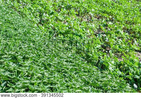 Stinging Nettles At The Edge Of An Agricultural Field Indicating A Soil Enriched With Nitrogen