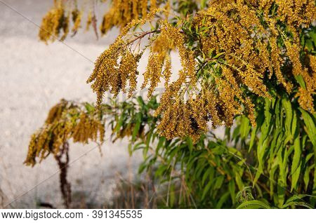 A Canada Goldenrod Or Solidago Altissima With Wilting Small Flowers In Autumn