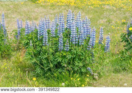 View On Blue Alaskan Lupins (lupinus Nootkatensis).