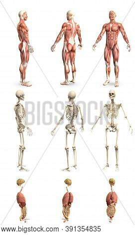 9 In 1, Male Body With Skeleton And Internal Organs - Physiology Concept For Medicine - Cg High Deta