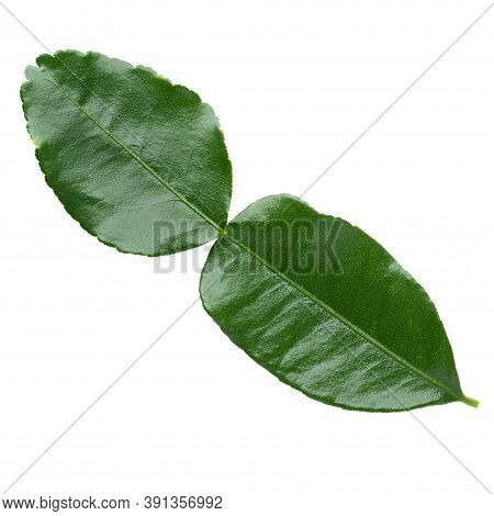 Green Leaf, Bergamot Leaf (kaffir Lime) Isolated On White Background With Clipping Path.