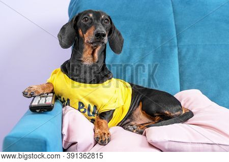 Lazy Dachshund Dog In Yellow T-shirt Is Lying On Couch On The Pillow At Home With Remote Control Bet