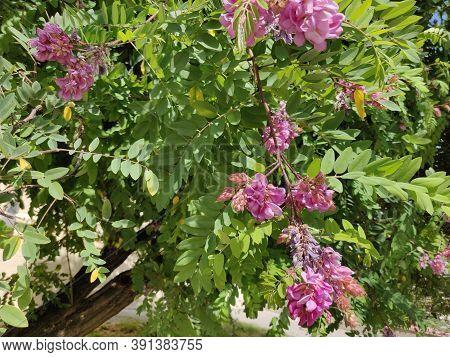 Pink Acacia Blossoms Of Acacia Tree, Close-up