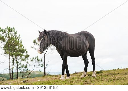 A Lonely Black Mare Eats Grass In Galicia On A Foggy Day.