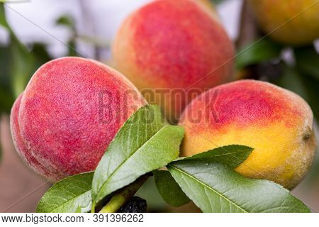 Fresh Peach Tree. Peaches Ripe For Picking In A Peach Orchard. Ripe Sweet Peach Fruits Growing On A