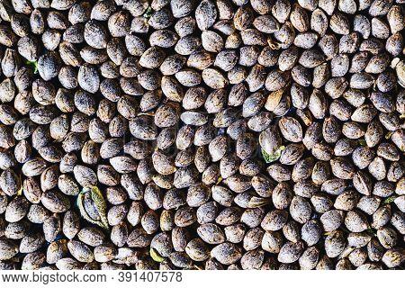 Close-up Detail Of Marijuana Seed. Hemp Seeds Background In Close-up . Many Cannabis Seeds. Organic