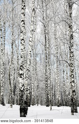 Trunks Of Winter Birch Trees On A Sunny Day With Blue Sky