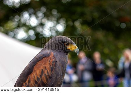 A Closeup Portrait Of A Desert Hawk, Also Called Harris's Hawk. You Can See The Brown Feathers On Th