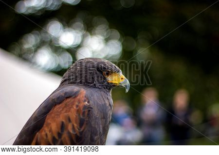 A Macro Portrait Of A Desert Hawk, Also Called Harris's Hawk. You Can See The Brown Feathers On The