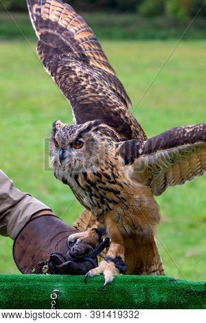 A Portrait Of A Eurasian Eagle-owl Being Put Back On A Birdshow Prop By A Falconer. The Falconer Is