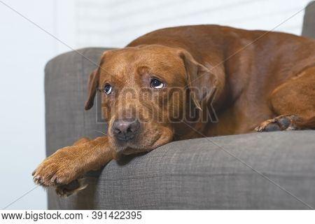 Sad Dog Of Breed Labrador, Waiting For The Owner Of The House. Longing And Devotion In The Eyes Of A