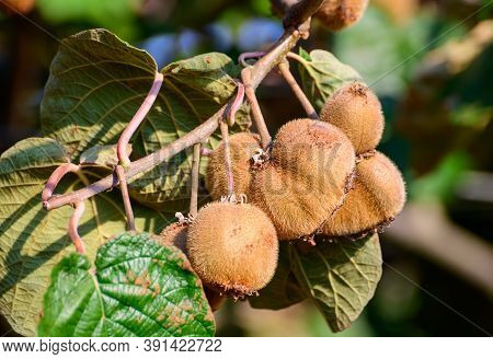 Golden Or Green Kiwi Fruits Hanging On Kiwi Tree In Orchard In Italy