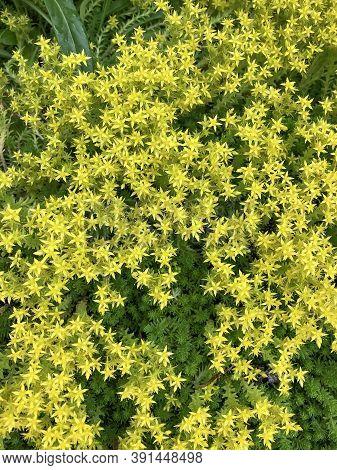 Sedum Acre, A Perennial Succulent Plant In The Crassulaceae Family. Small Yellow Flowers Are Decorat