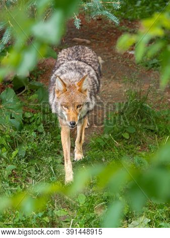 Coyote Walking On A Path, Seen Through Green Leaves