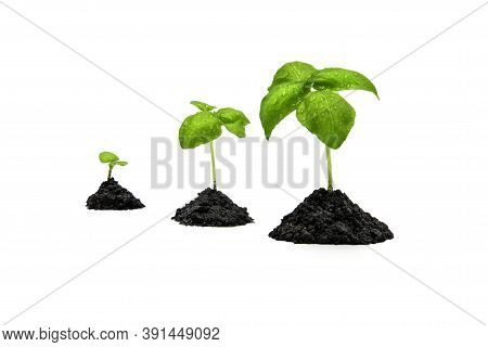 Basil Sprouts In A Pile Of Soil Isolated On White Background. Growing Basil At Home Indoors. Clean E