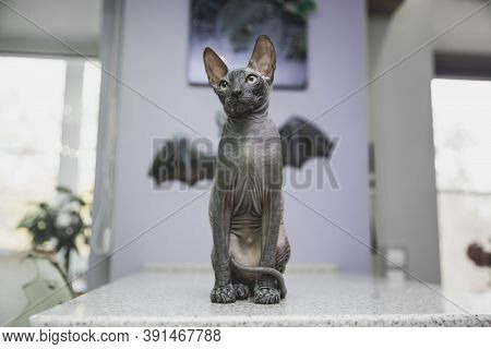 Scary Black Young Don Sphynx Cat With Black Bat Wings On The Background As Halloween Decoration, Nak