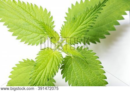 Bush Of Stinging Common Nettles Isolated On White Background. Top View. Medical Herb
