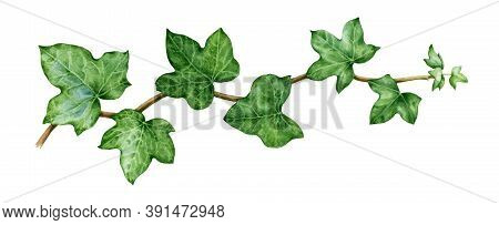 Ivy Watercolor Illustration. Green Lush Hedera Helix Close Up Image. Fresh Botanical Green Branch Wi