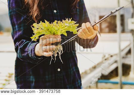 Female Farmers Take Care Of The Vegetable Hydroponic Organic Produce, Take Note Of The File And Take