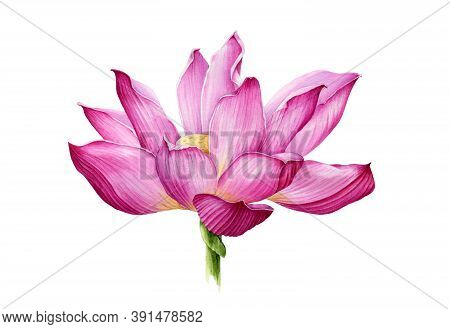 Lotus Flower In A Full Bloom Watercolor Illustration. Tender Pink Water Lilly Blossom Botanical Imag