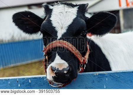 Little Calf In Corral At Ranch Farm, Cub Calf, Dairy, Farming.
