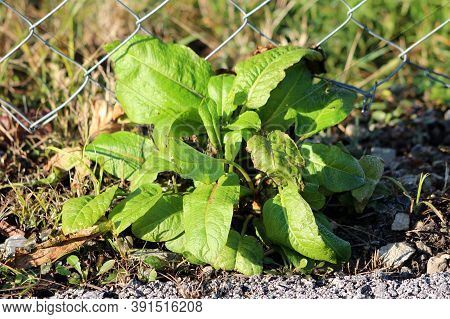Broad-leaved Dock Or Rumex Obtusifolius Plants With Long Broad Light Green Oval To Lance Shaped Leav