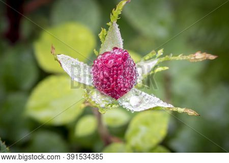 Rose Bud With Drops Of Dew. Close Up. Selective Focus