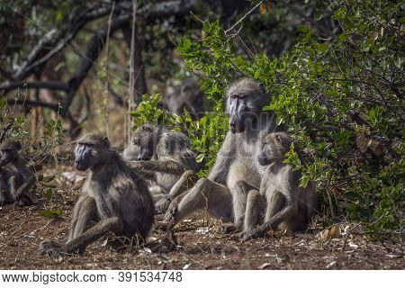 Chacma Baboon Cute Family Scenic In Kruger National Park, South Africa ; Specie Papio Ursinus Family