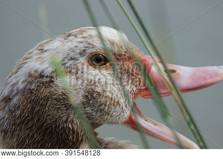 Beautiful Gray Goose. The Head Of A Gray Goose With An Open Beak. High Quality Photo