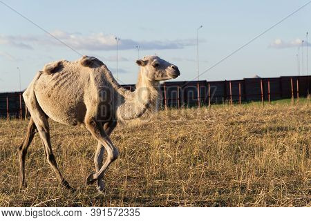 Camel With Reclining Humps On The Farm