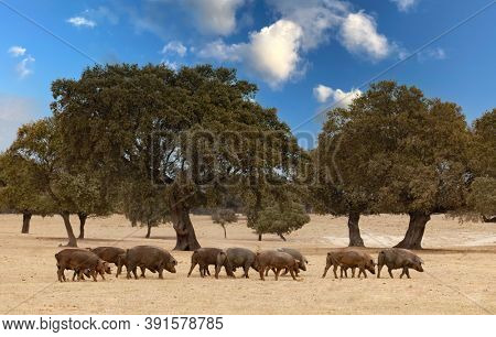 Herd of pigs eating in the Spanish pasture