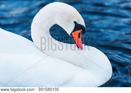 White Swan In Profile Close Up. Beautiful Bird On Blue Background. Waterfowl Macrophotography. Anima