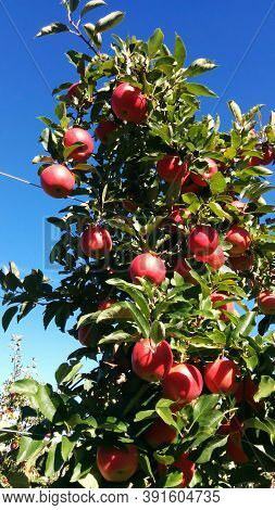 Apples In Apple Tree, Chudleigh Apple Orchard
