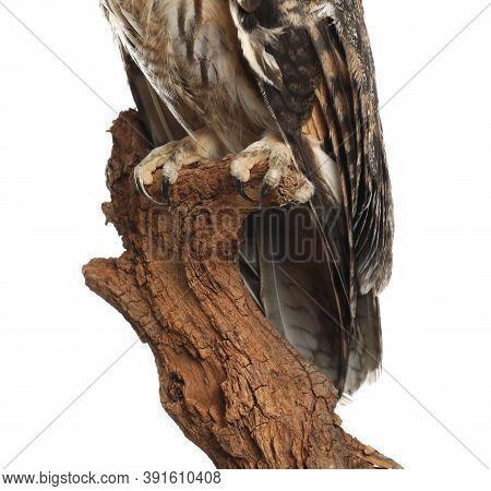 Beautiful Eagle Owl On Tree Against White Background, Closeup. Predatory Bird