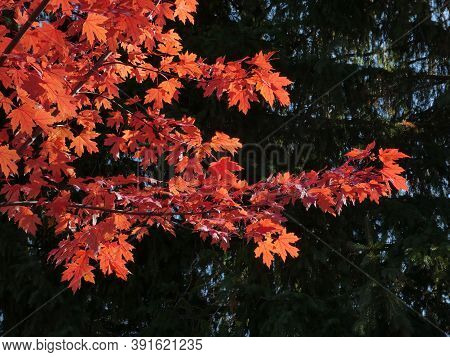 Branch With Red Maple Leaves On The Dark Background