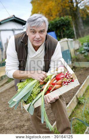 Senior man in kitchen garden picking vegetables