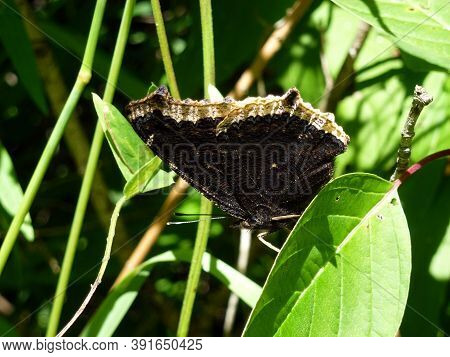 The Black Butterfly Sitting On The Grass