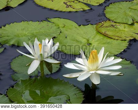 Two White Lotuses On The Water Surface