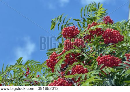 Rowan Branches With Red Berries. Red Rowan Berries On The Branches Of A Rowan Tree And Green Leaves
