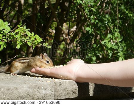 Chipmunk eating seeds from the hand  in the park