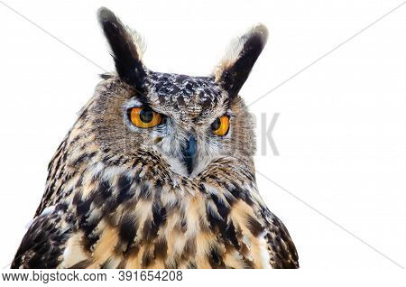 Portrait Of Great Horned Owl (bubo Virginianus), Aka Tiger Owl, Against White Background