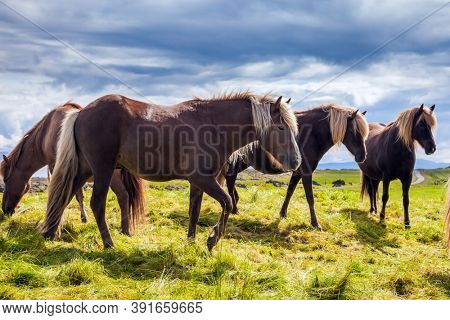 Summer in Iceland. Journey of dreams. Only one breed of horse lives in Iceland. Beautiful and well-groomed Icelandic horses on a free pasture. Green fresh tall grass in tundra