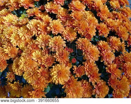 Many Orange Chrysanthemums As A Floral Background